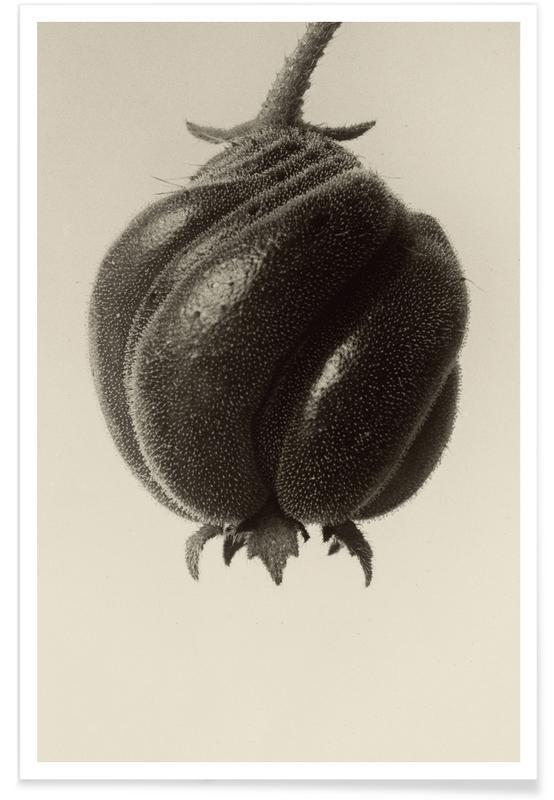 Blumenbachia Hieronymi (Loasaceae) -  Karl Blossfeldt -Poster