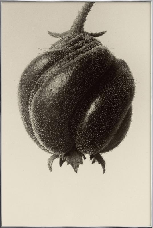 Blumenbachia Hieronymi (Loasaceae) -  Karl Blossfeldt -Poster im Alurahmen