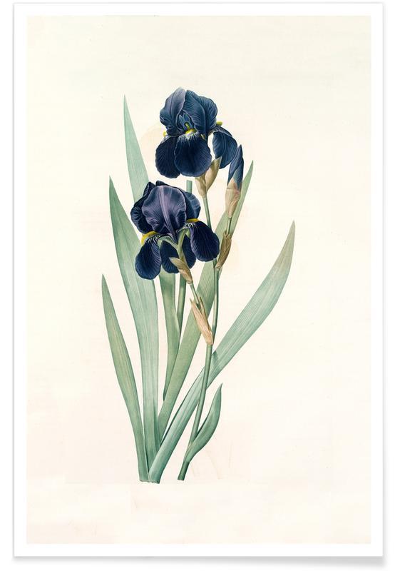 , Iris germanica, German flag, -Pierre Joseph affiche
