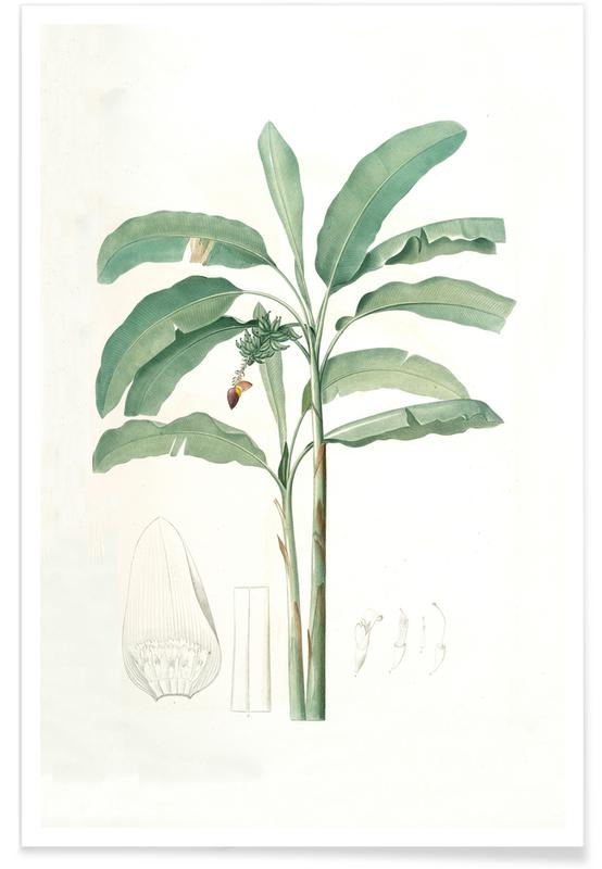 Palmbomen, Musa paradisiaca, Cultivated Banana (Plant), -Pierre Joseph poster