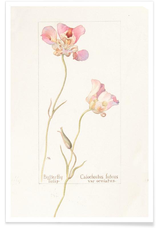 Tulpen, Butterfly Tulip Calochorus Luteus var Oculatus -Poster