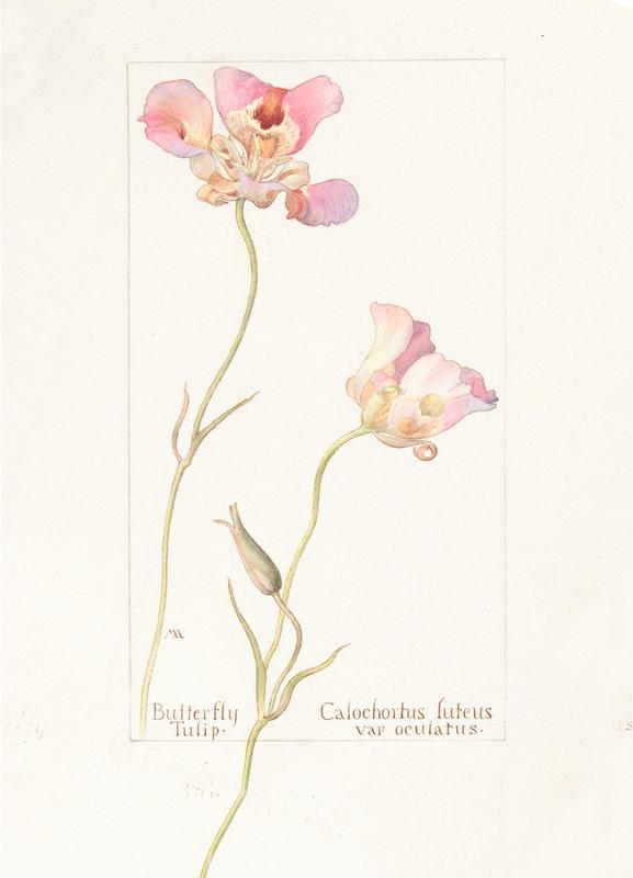 Butterfly Tulip Calochorus Luteus var Oculatus Canvas Print