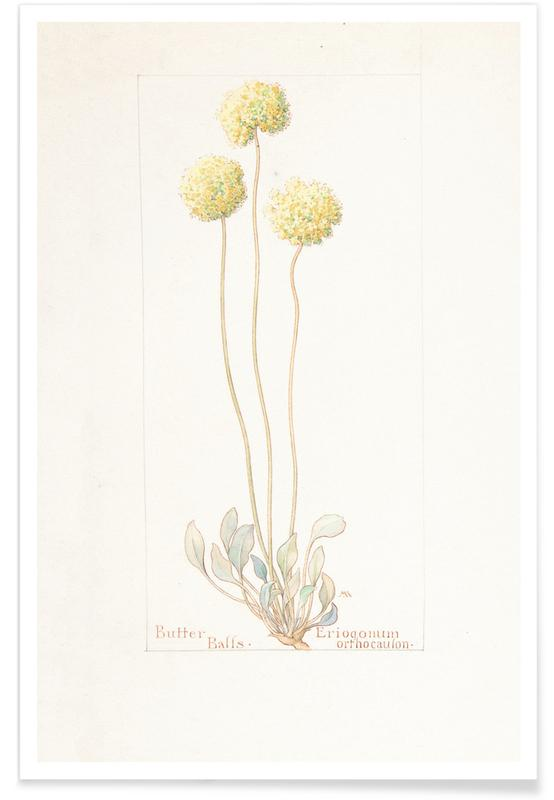 , Butter Balls, Eriogonum Orthocaulon, 1914 - Margaret Neilson Armstrong affiche