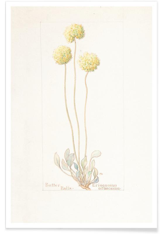 Butter Balls, Eriogonum Orthocaulon, 1914 - Margaret Neilson Armstrong poster