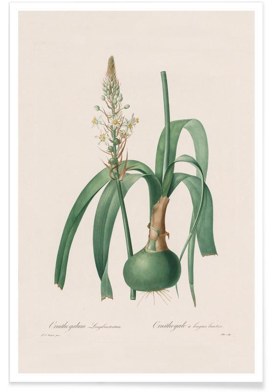 Feuilles & Plantes, Ornithogalum Longibracteatum, 1802-1816 -Henry Joseph Redouté affiche