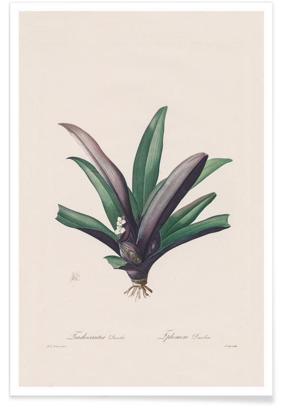Tradescantia Discolour, 1802-1816 - Henry Joseph Redouté Poster