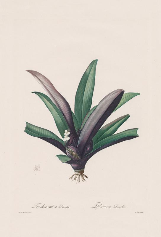 Tradescantia Discolour, 1802-1816 - Henry Joseph Redouté Aluminium Print