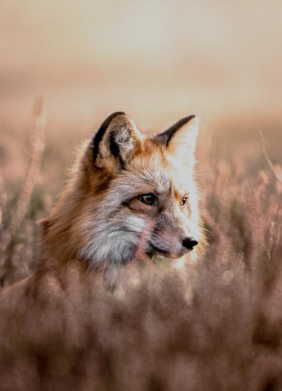 Fox in Reeds -Leinwandbild
