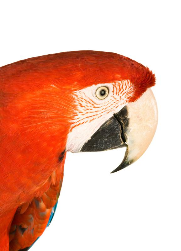 Royal Red Parrot -Leinwandbild