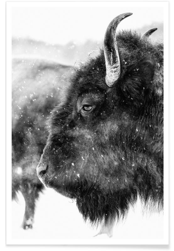 Cows, Black & White, Winter Bison Poster