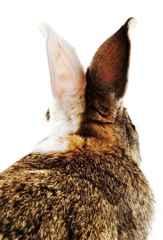 Bunny Ears Akrylglastavla