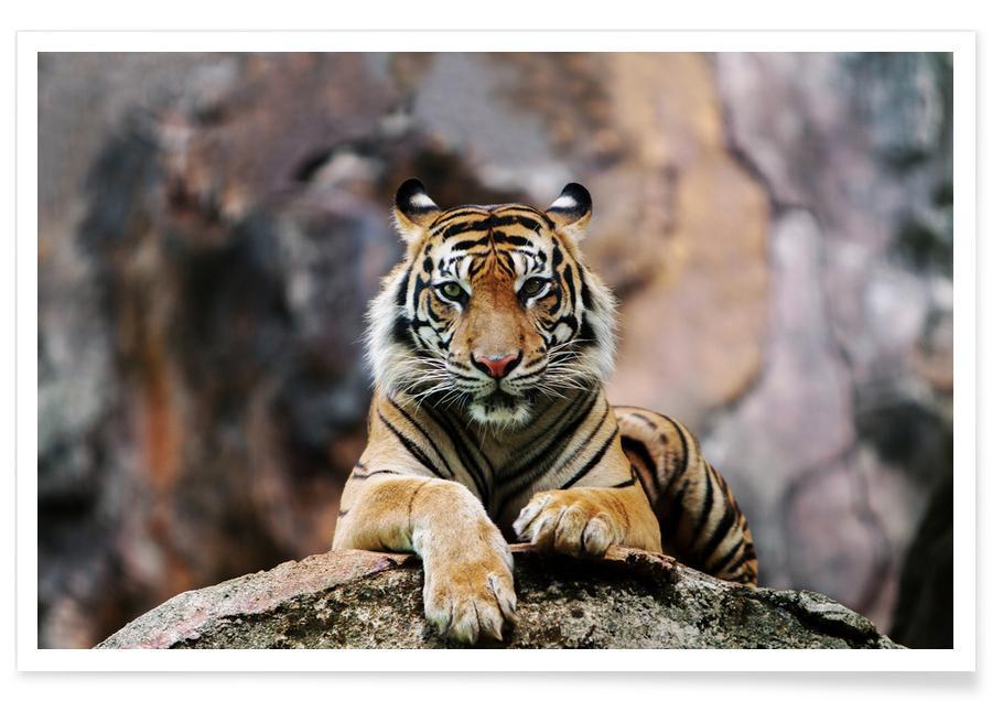 Safari dieren, Resting Tiger poster