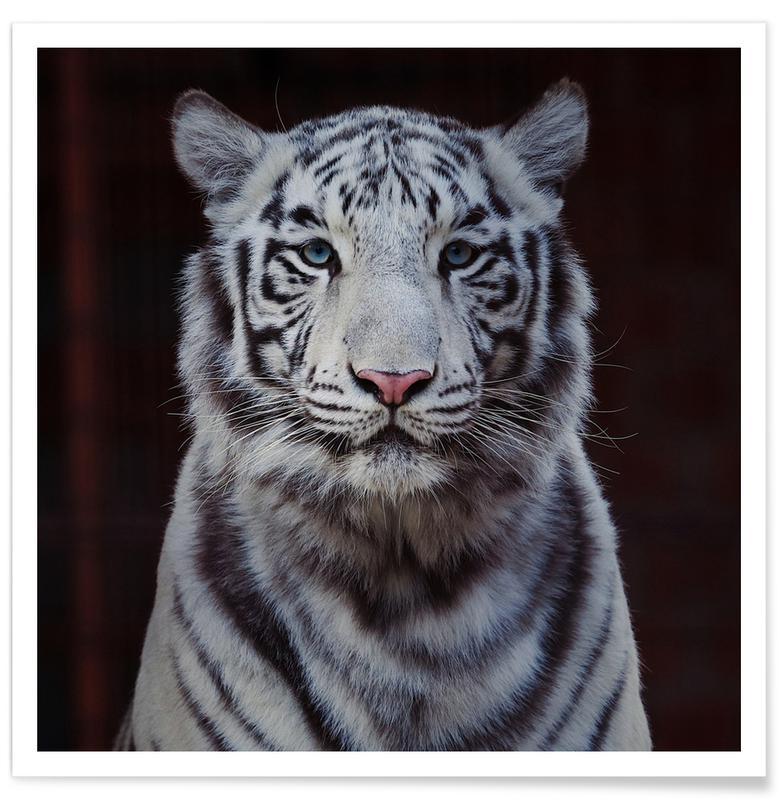 Animaux de safari, White Tiger affiche