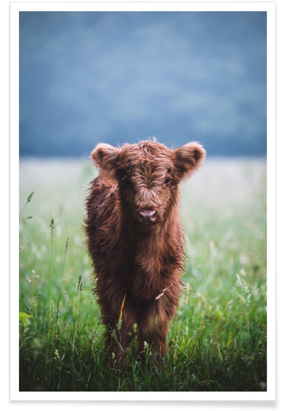 Vaches, Highland Calf II affiche