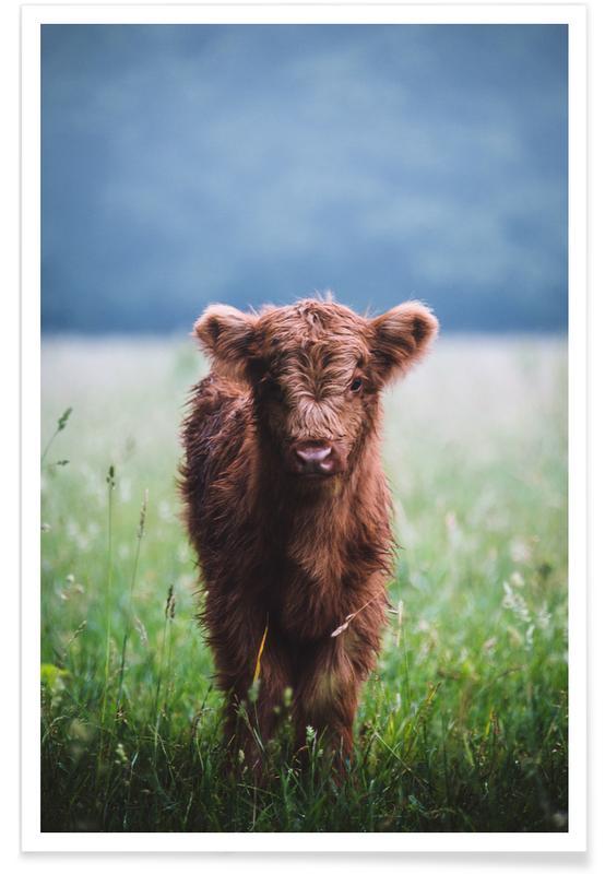 Koeien, Highland Calf II poster