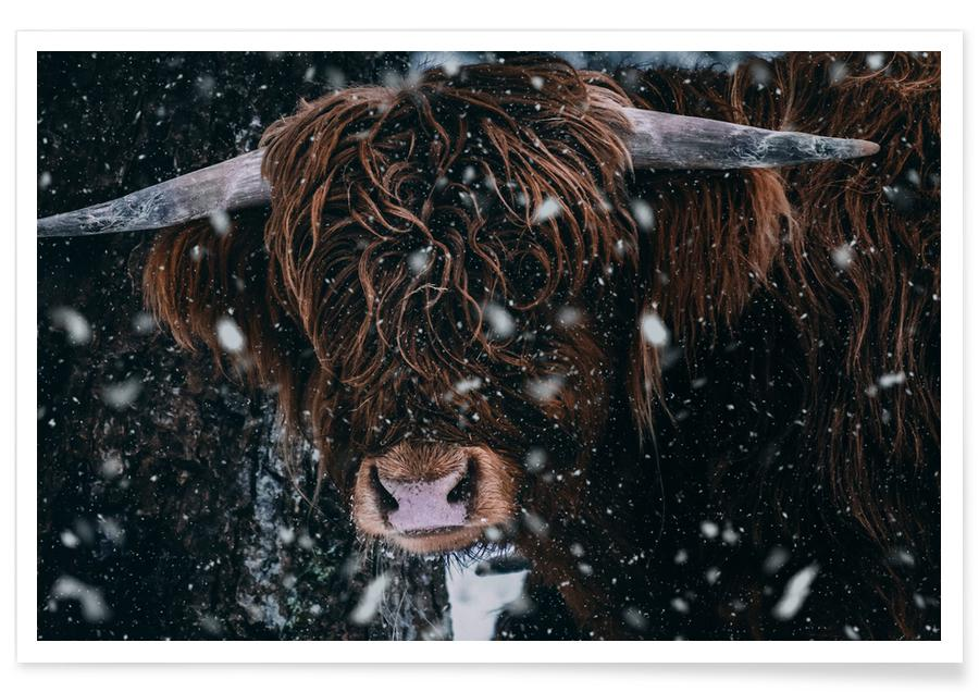 Cows, Caught in the Snow Poster