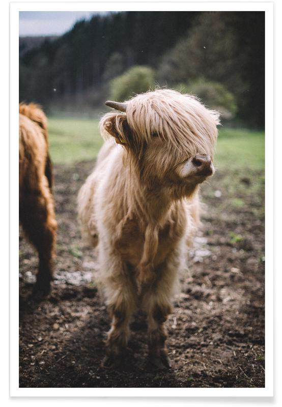 Kühe, Highland Calf -Poster