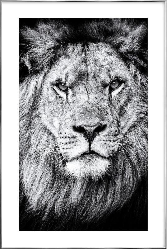 Portrait of a Regal Lion Poster i aluminiumram