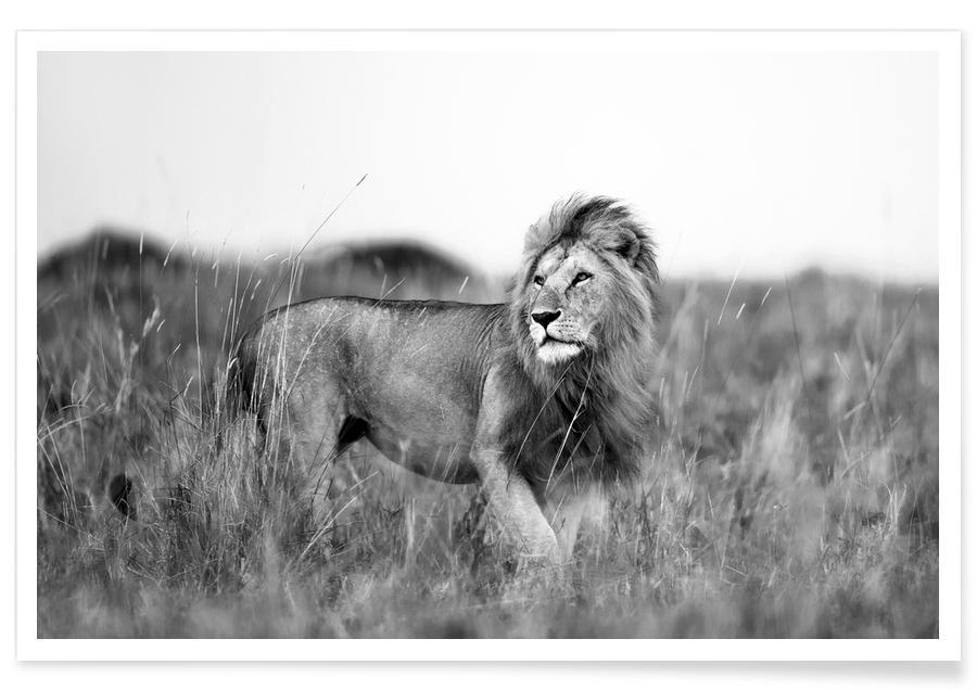Animaux de safari, Lions, Noir & blanc, Savannah Lion affiche