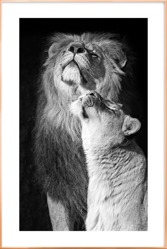 Lions in Love Poster in Aluminium Frame