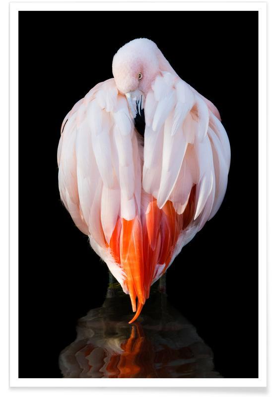 Flamingos, Flamingo in Reflection -Poster