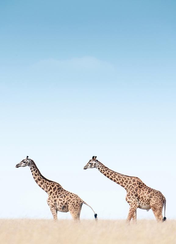 Giraffes Crossing the Savanna Canvastavla