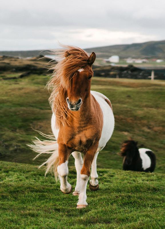 Shetland Ponies -Leinwandbild