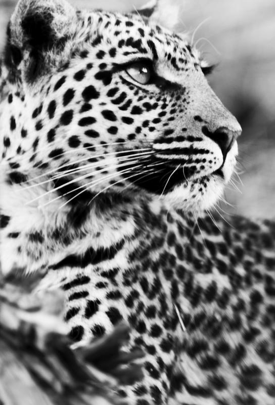 A Leopard's Spots Impression sur alu-Dibond