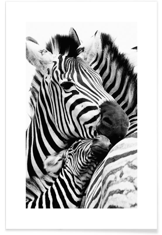 Sort & hvidt, Safari dyr, Zebras Plakat
