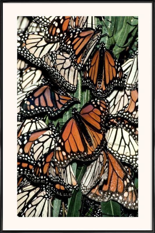 Butterflies affiche encadrée