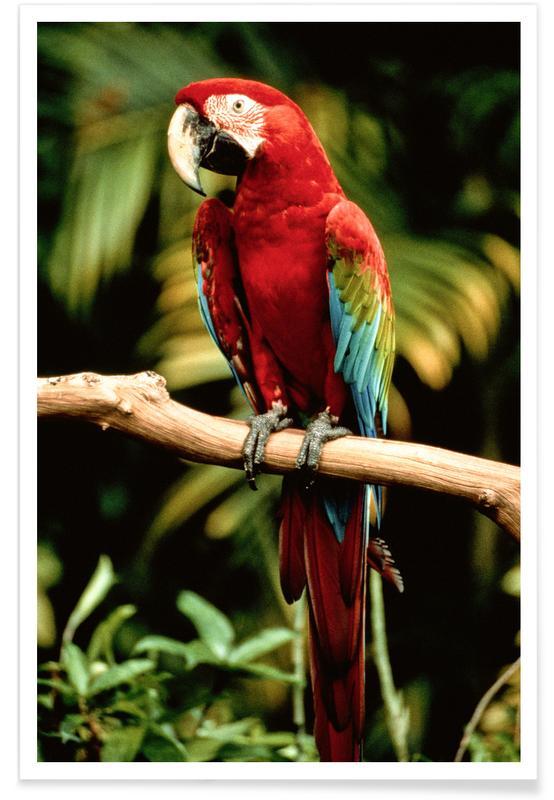 Art pour enfants, Perroquets, Perching Parrot affiche