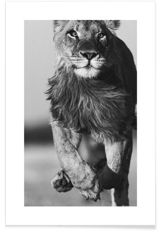 Sort & hvidt, Safari dyr, Lion Sprint Plakat