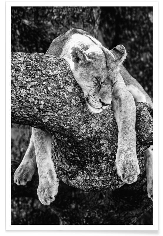 Sort & hvidt, Børneværelse & kunst for børn, Safari dyr, Løve hviler Plakat