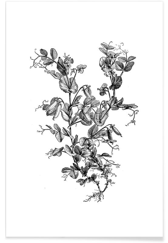 Sort & hvidt, Garden Pea Plant Plakat