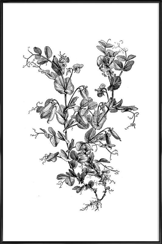 Garden Pea Plant affiche encadrée