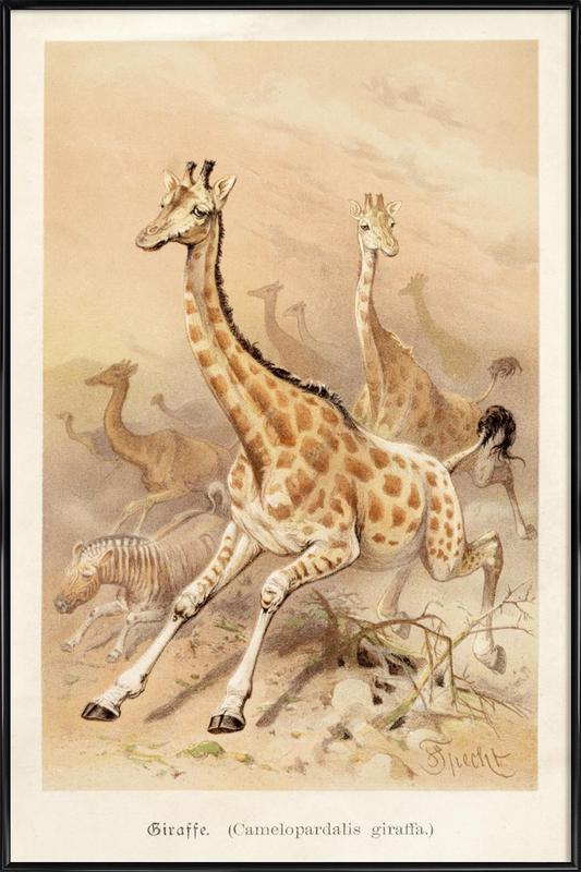 Racing Giraffes Poster i standardram