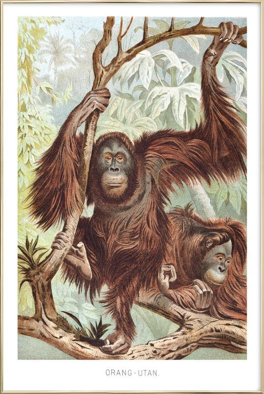 Orangutan pair affiche sous cadre en aluminium