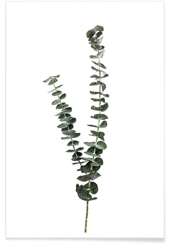 , Silver Dollar Plant póster