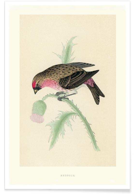 Redpole Bird Poster