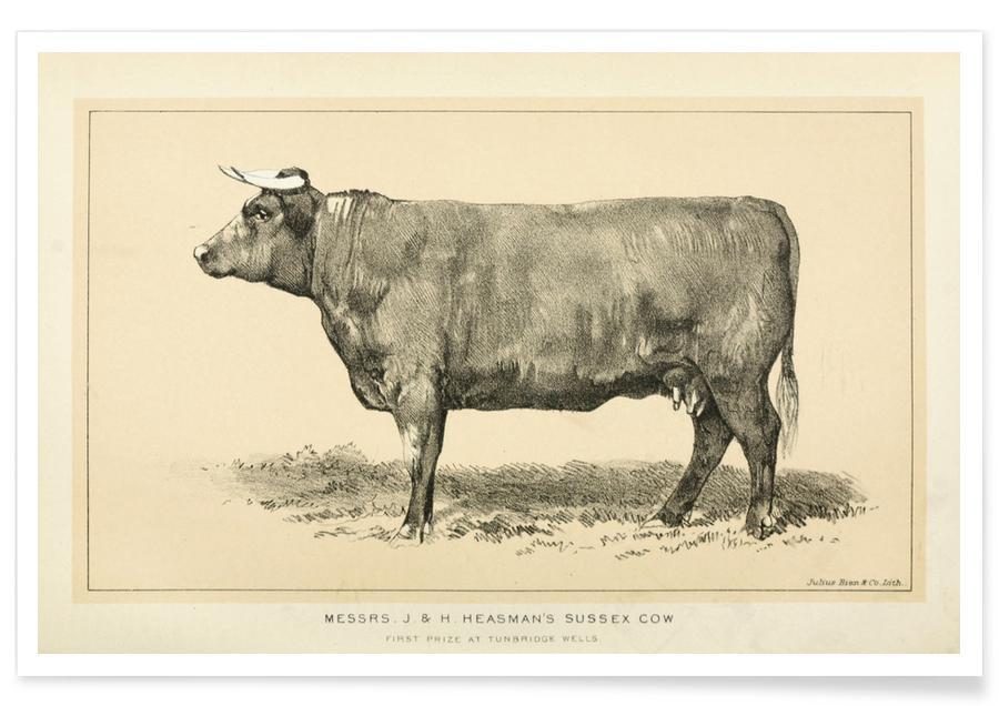 Kühe, Sussex Cow -Poster