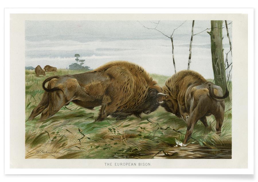 Cows, European Bison In Battle Poster