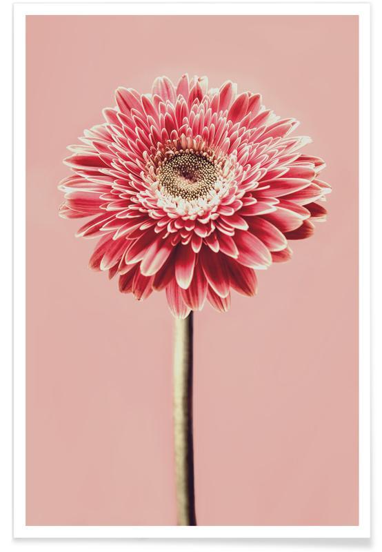 Red Barberton Daisy -Poster