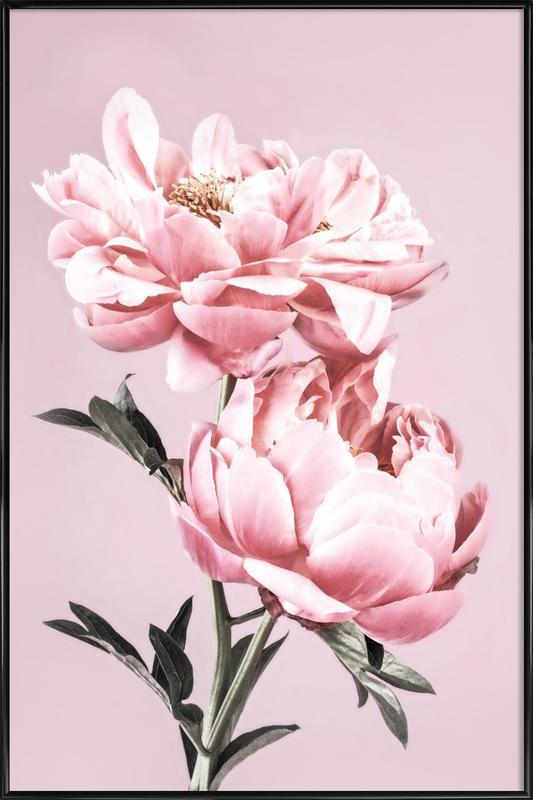 Pink Peonies Poster i standardram