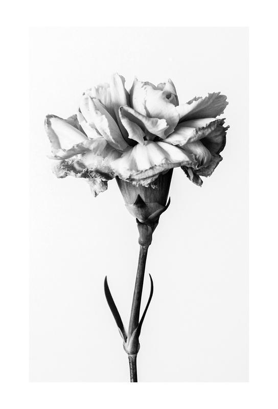 Carnation acrylglas print