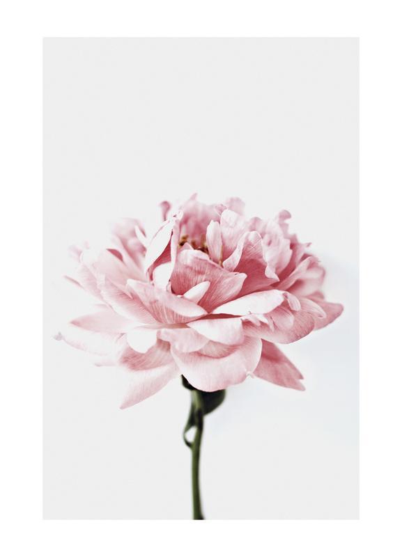 Peony Pink and Grey Canvastavla