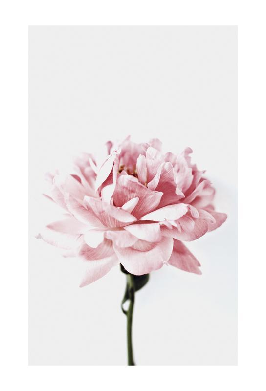 Peony Pink and Grey Akrylglastavla