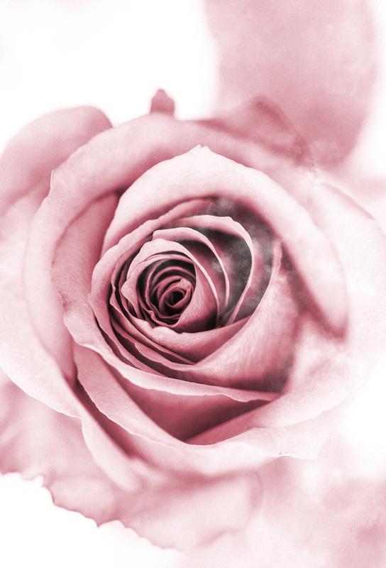 Pink Petals -Acrylglasbild