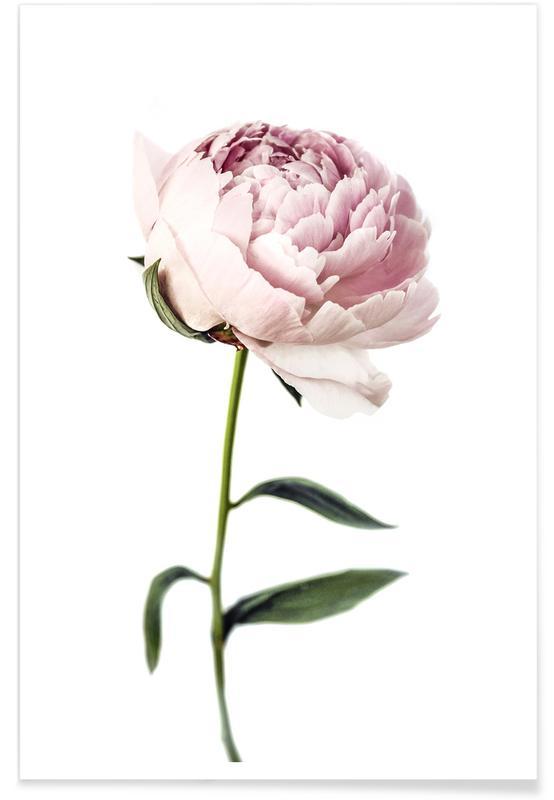 Rosas, Peony Tall póster
