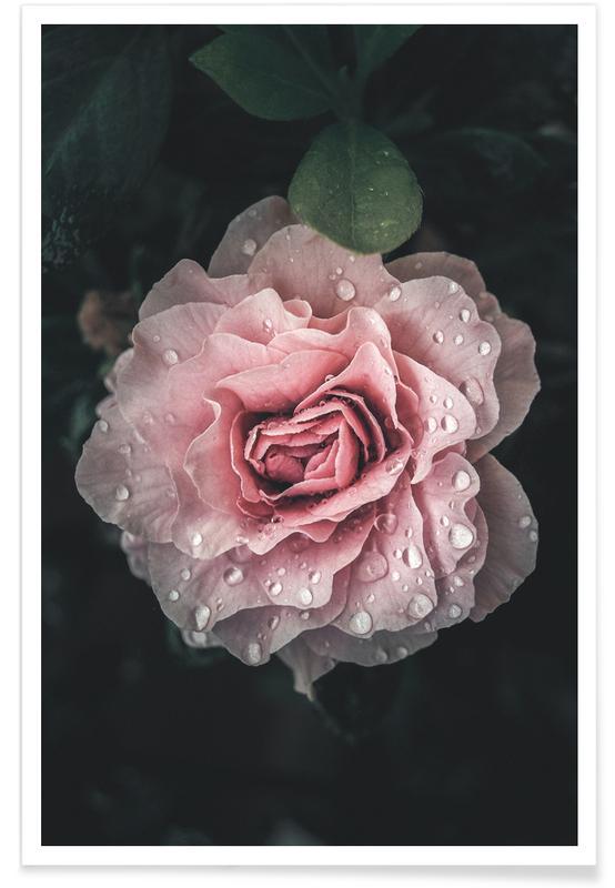 Roser, Raindrops on Pink Rose Plakat