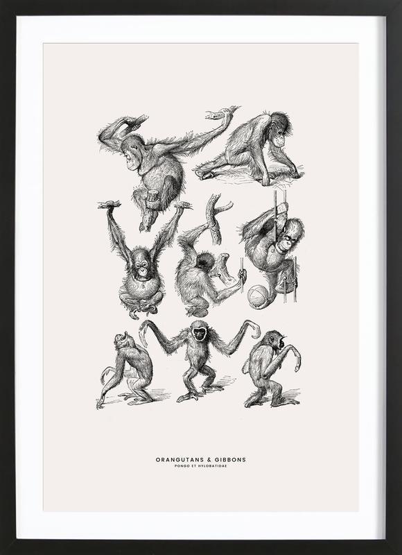 Orangutans and Gibbons Poster i träram